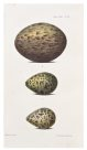 Illustration of eggs by Harriet Scott 2