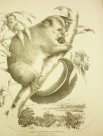 Illustration of the Common Possum by Helena Forde (Scott)
