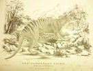 Illustration of the Tasmanian Tiger by Harriet Scott