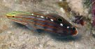 Old Glory Goby, Amblygobius rainfordi