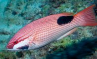Saddleback Pigfish, Bodianus bilunulatus
