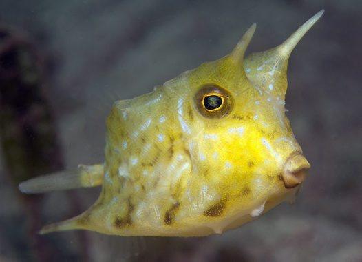 Longhorn Cowfish, Lactoria cornuta - Australian Museum