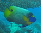 A Blueface Angelfish at Hideaway Island, Vanuatu