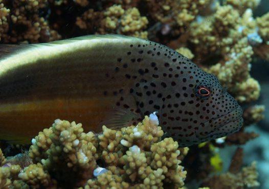 Hawkfish | Freckled Hawkfish Paracirrhites Forsteri Schneider 1801