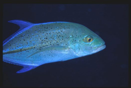 A Bluefin Trevally at Bougainville Reef