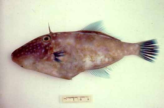Bluefin Leatherjacket, Thamnaconus degeni