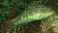 Pearly Wrasse, Halichoeres margaritaceus