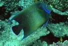 A Blue Angelfish at North-West Island