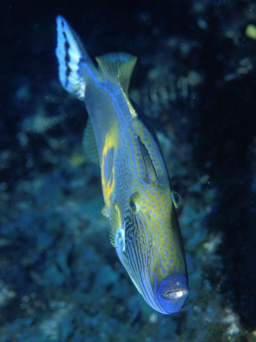 Sixspine Leatherjacket at Montague Island