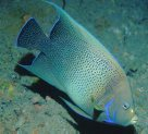 A Blue Angelfish at Espiritu Santo