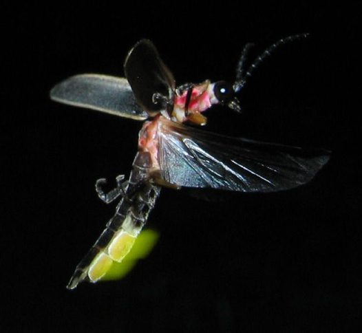 Bioluminescence - Firefly Photinus pyralis