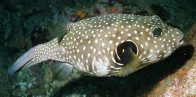 Stars-and-stripes Puffer, Arothron hispidus