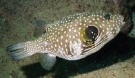 Stars-and-stripes Puffer at Black Rocks