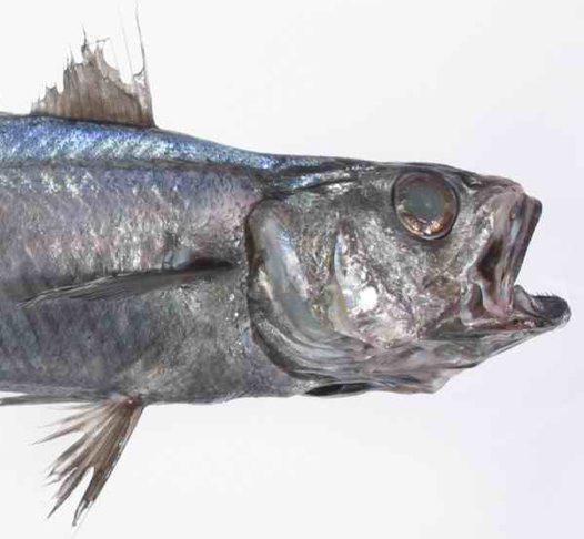 The head of a Blue Grenadier, Macruronus novaezelandiae