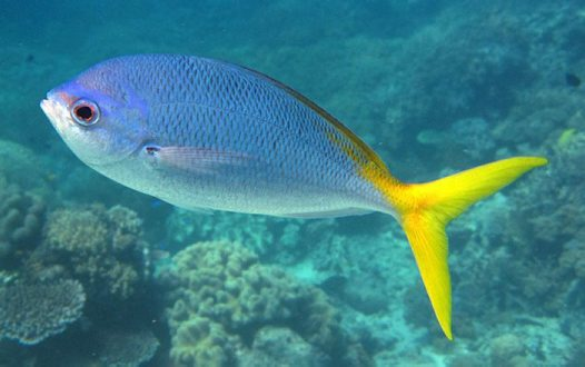 yellowtail marine Yellowtail, seriola quinqueradiata, is an economically important  of the order  beloniformes, which includes freshwater and marine fish, such.