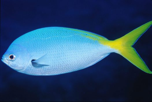 Yellowtail Fusilier