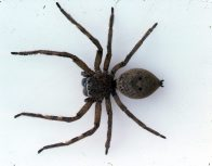 Badge Huntsman Spider, Neosparassus sp.