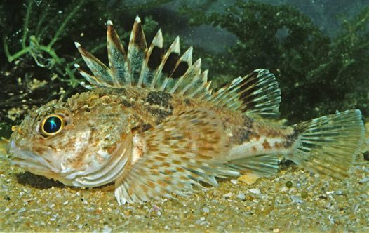 Little Gurnard Perch, Maxillicosta scabriceps