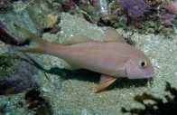 A Bluestriped Goatfish at Port Stephens