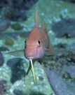 Bluestriped Goatfish at Port Stephens