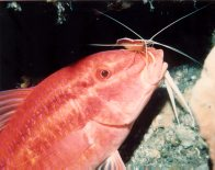 Blacksaddle Goatfish and cleaner shrimp