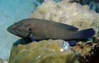 Lateral view of a Blue-lined Rockcod at Redang
