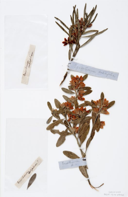 Eriostemon specimens