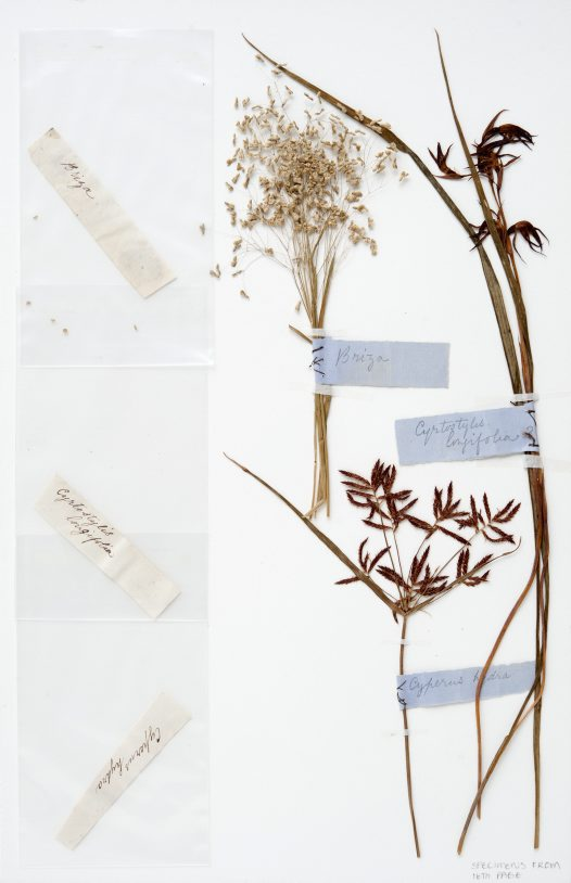 Grasses and orchid specimens