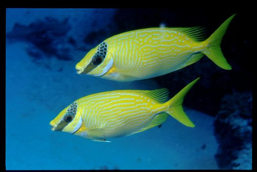 Masked Rabbitfish at Wreck Bay