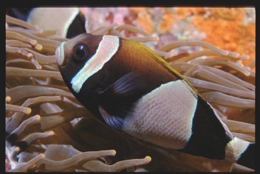 A Wideband Anemonefish at South Solitary Island