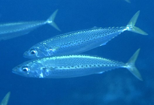 Blue Mackerel at Coffs Harbour