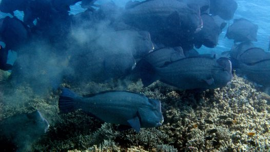 Bumphead Parrotfish at Lizard Island