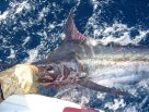 A Blue Marlin caught east of Kiama