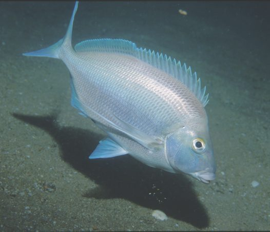 Grey Morwong outside Broken Bay