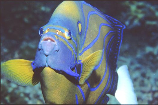 Blue-ringed Angelfish at Redang Island