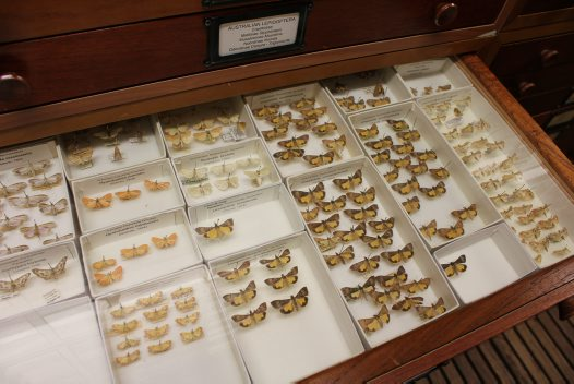 Drawer in the Entomology Collection