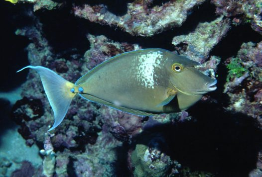 A Bluespine Unicornfish at Harrier Reef