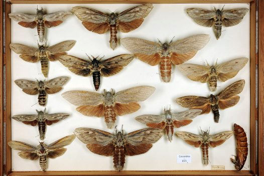Cossidae drawer