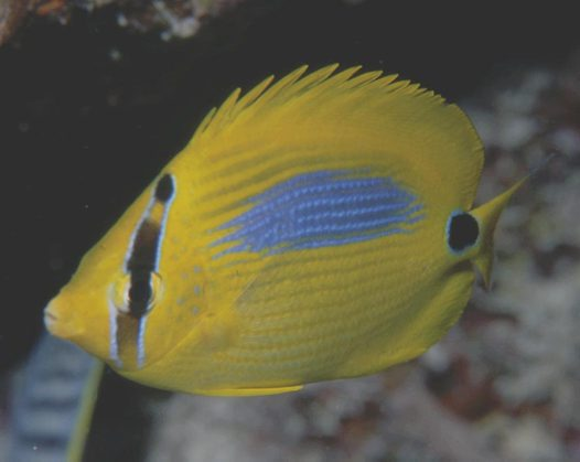 A Bluespot Butterflyfish at Bougainville Reef