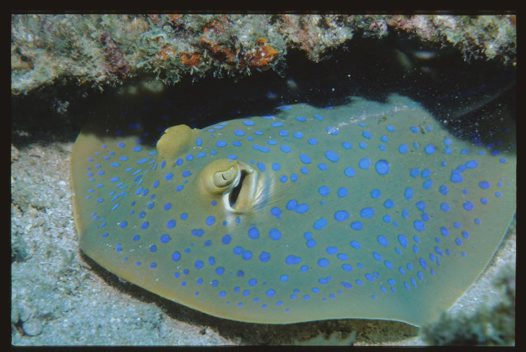 A Bluespotted Fantail Ray at Pulau Redang