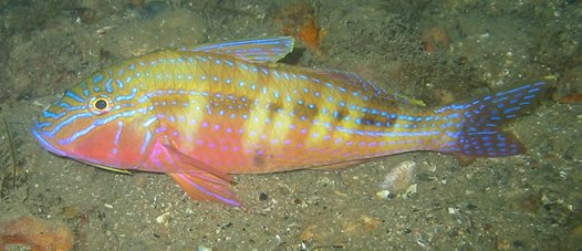 A Blue-spotted Goatfish at Mornington Pier