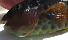 Head of a Marbled Parrotfish