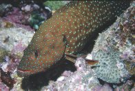A Blue-spotted Rockcod north of Port Douglas