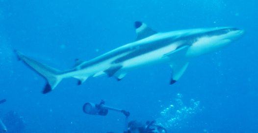 A Blacktip Reef Shark at Mana Island