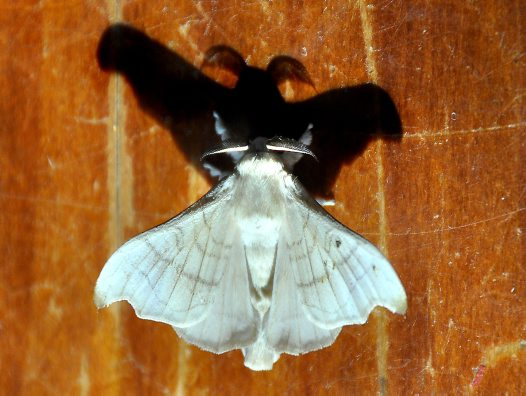 Silkworm moth's ghostly shadow - Erica Pitman