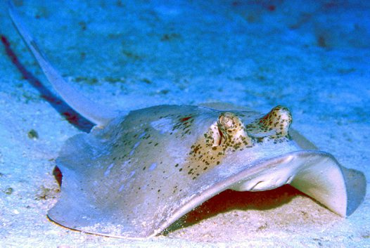 Bluespotted Maskray at Ribbon Reef