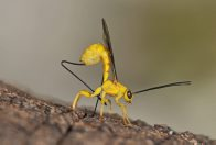 Yellow parasitic wasp - Angela Reid-Robertson