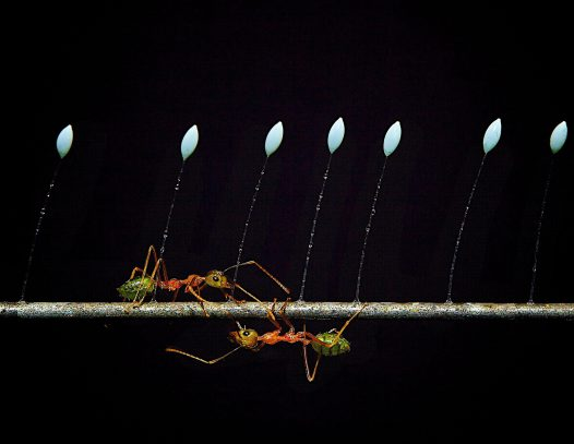 Green ants and lacewing eggs - Colin McCloud
