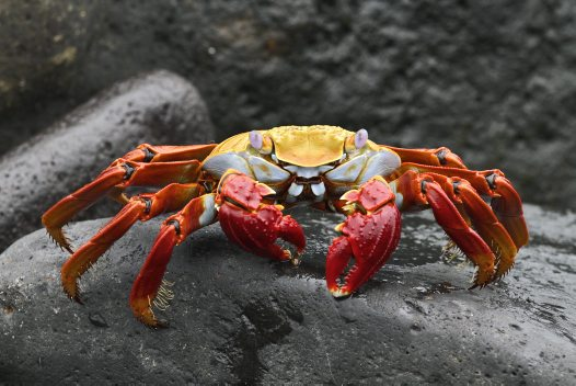 Sally Lightfoot Crab - Bruce Gimber