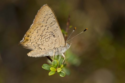 Eltham Copper Butterfly - Paralucia pyrodiscus lucida - Michael Williams